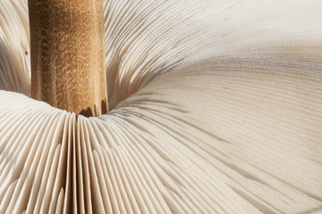 Macrolepiota procera is edible fungus. Parasol mushroom texture background