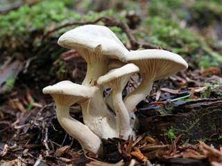 Clustered White Mushrooms