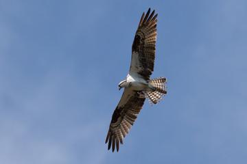 Osprey Flying, J.N. ''Ding'' Darling National Wildlife Refuge, S