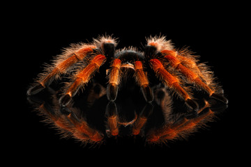 Close-up Big hairy Red Tarantula Theraphosidae isolated Black Background with Reflection