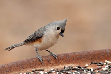 Cute little Tufted Titmouse at a feeding station looking for seeds