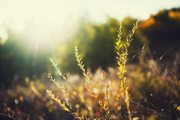 Wild grasses in a field at sunset.