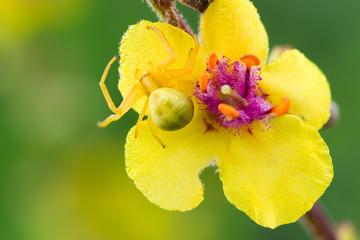 Spider Misumena vatia or goldenrod crab spider or flower crab spider or flower spider on a flower of Verbascum nigrum (dark mullein) close up