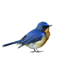 Male of Hill blue flycatcher (Cyornis banyumas) the beautiful ti