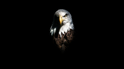 Isolated Intense Eagle Stare