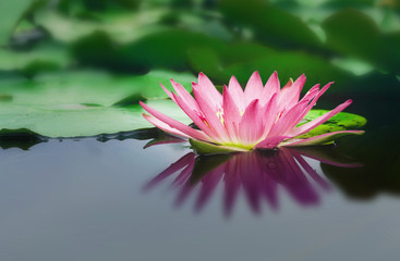 beautiful lotus flower is complimented by the rich colors of the deep blue water surface and green leaf background