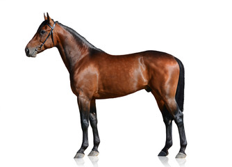 Bay sport horse isolated on white background