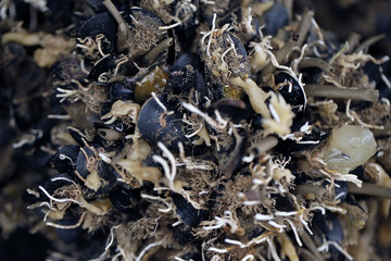 czarny małż- hodowla: omułekczarny małż- hodowla: omułek