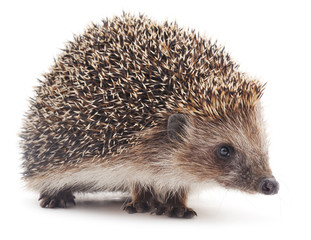 Small hedgehog.