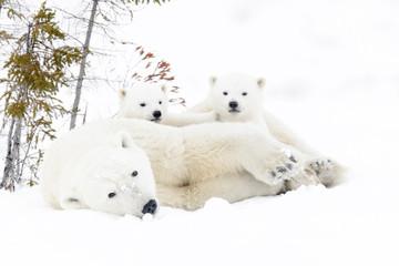 Polar bear mother (Ursus maritimus) with two cubs, Wapusk National Park, Manitoba, Canada