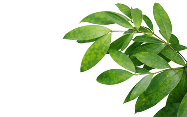 Japanese bamboo plant leaves isolated on white background, clipping path included