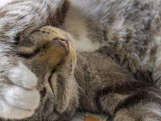 The Tabby Cat Sleeps Forehead