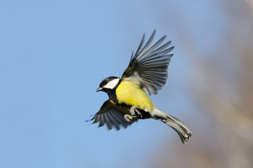 Flying Great Tit in bright autumn day