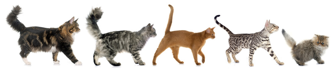 five walking cats