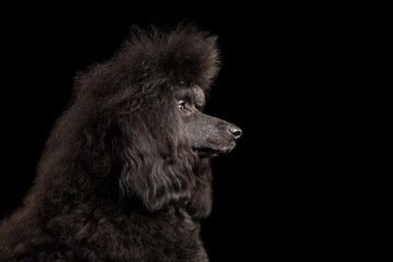 Close-up Portrait of hairstyle Black poodle dog in profile on isolated black background