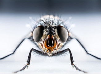 Bluebottle fly macro