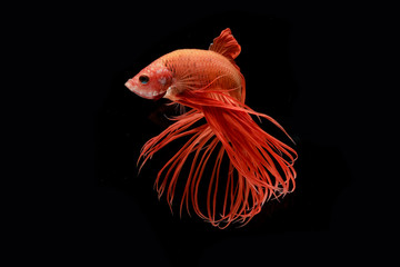 Moment of red betta fish, siamese fighting fish isolated on blac