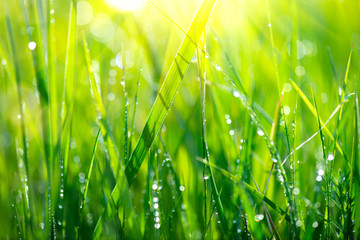 Grass. Fresh green spring grass with dew drops closeup