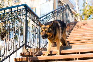 Dog german shepherd on the steps
