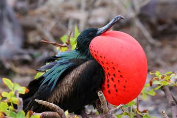Male Great Frigatebird on Genovesa Island, Galapagos National Pa