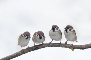 funny little birds, the sparrows curiously look at each other, sitting on a branch