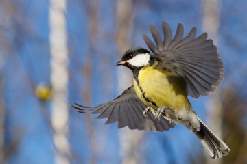 Great Tit in flying