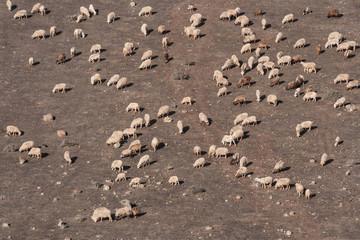 Stado owiec w jałowym krajobrazie z lotu ptaka
