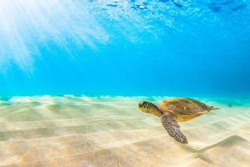 Zagrożony hawajski żółw morski zielony Podróżujący w ciepłych wodach Oceanu Spokojnego