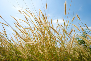 tall wild light brown yellow grass flowers in the wind under natural