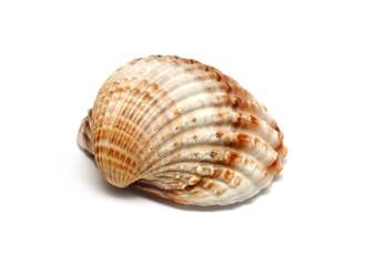 Einzelne Muschel auf weißem Hintergrund