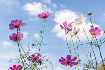 Beautiful pink cosmos flowers with blurred blue sky background.