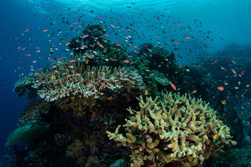Colorful Reef Fish Schooling Above Healthy Reef