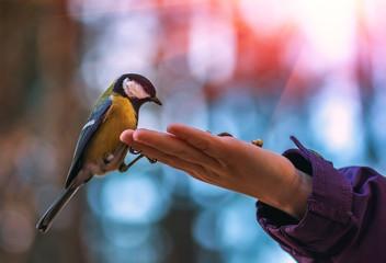 wild bird titmouse on the palm at sunset .