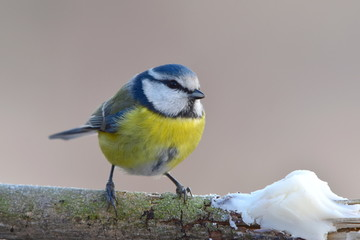 Blue tit with tallow