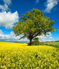Mighty Oak Tree in Field of Rapeseed under Blue Sky with Clouds, Spring Landscape