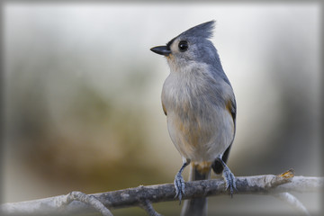 tufted titmouse sitting on a branch