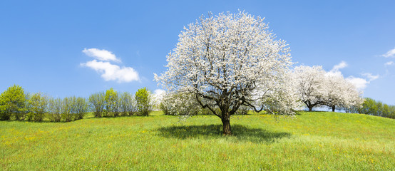 Spring. Fruit tree in white bloom. Cherry flowers. Alps meadow with wild flowers and lush spring grass.