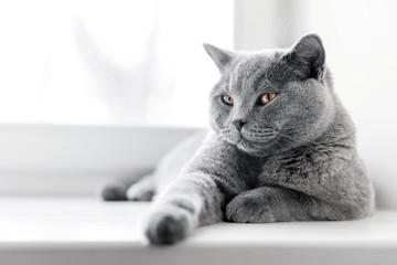 Szlachetny dumny kot leżący na parapecie. Brytyjski krótkowłosy