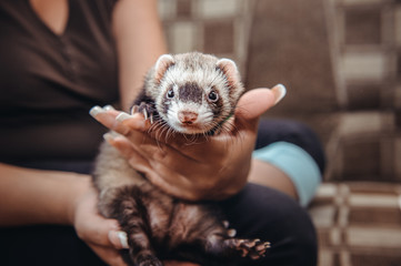 Close up Portrait of Ferret sitting on girl's hand and looking forward. Home pet consept. Selective focus