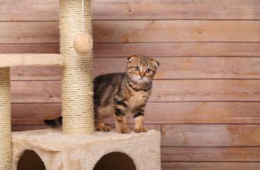 Scottish fold kitten playing