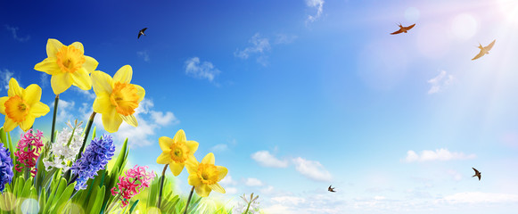Spring And Easter Banner - Daffodils In The Fresh Lawn With Fly of Swallow