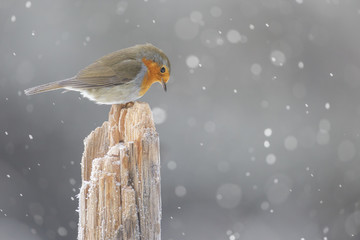 Robin red breast in snow shower