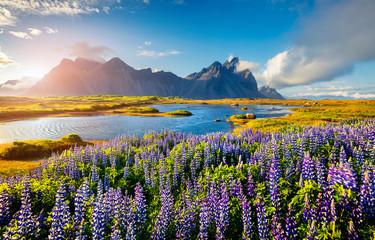 Kwitnące kwiaty łubinu na cyplu Stokksnes na południowo-wschodnim wybrzeżu Islandii. Islandia, Europa. Zdjęcie przetworzone w stylu artystycznym.
