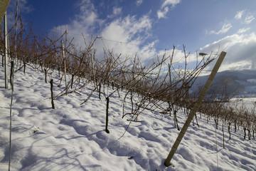 Reben im Winter Schnee