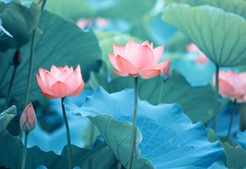 Kwiat lotosu i rośliny kwiatu lotosu