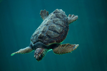 Loggerhead sea turtle (Caretta caretta).