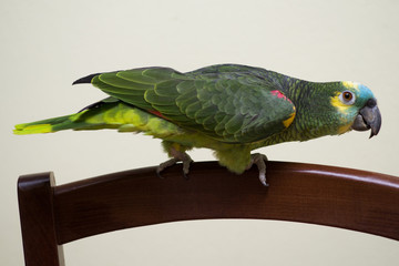 Turquoise fronted parrot at home
