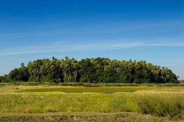 Island taraw palm. Pa Kam Chanod, Amazing Thailand.