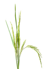 green spike  rice Isolated
