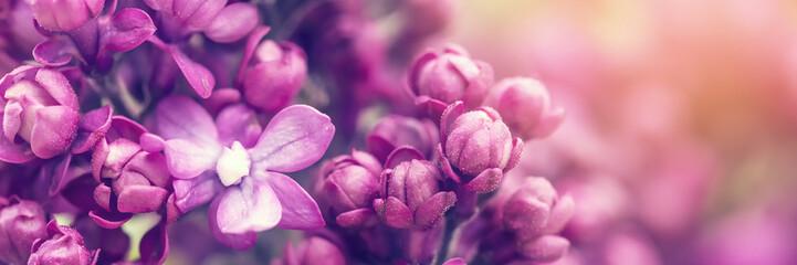 Kwiaty bzu tło